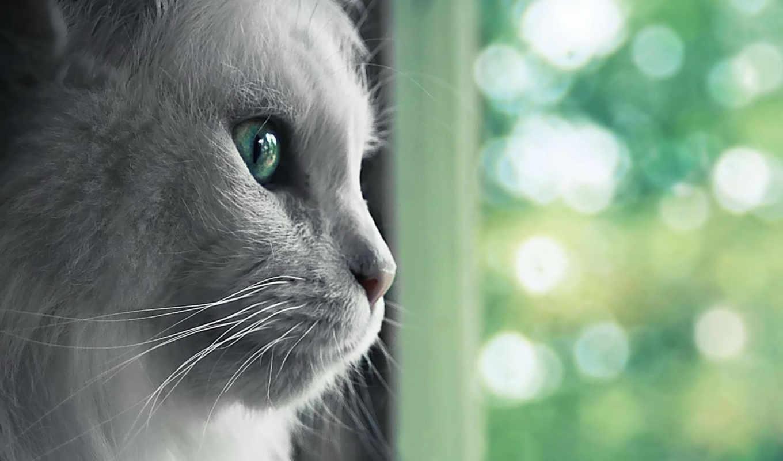 кошка, пушистая, окно, днем, смотрит, белая, аватары, culoare,