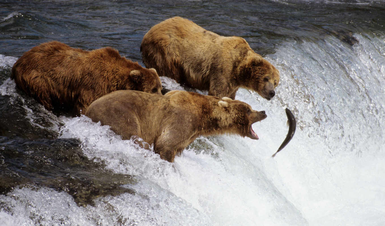 salmon, лосося, нерест, bears, card, fish, водопад, you, медведь,