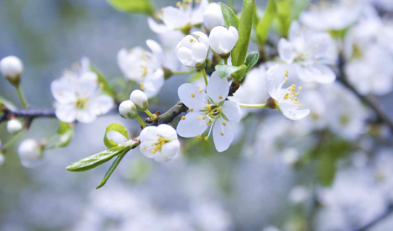 яблоня, цветение, весна, branch, cvety, фото