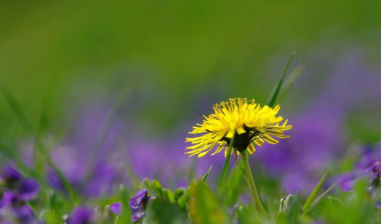 трава, поле, цветок, природа, лето, картинка, картинку, одуванчик,