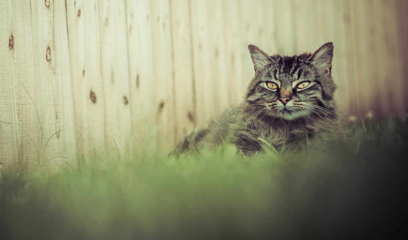 cat, daisies, gray, furry, download, yawns, grass, ромашки, пушистый,
