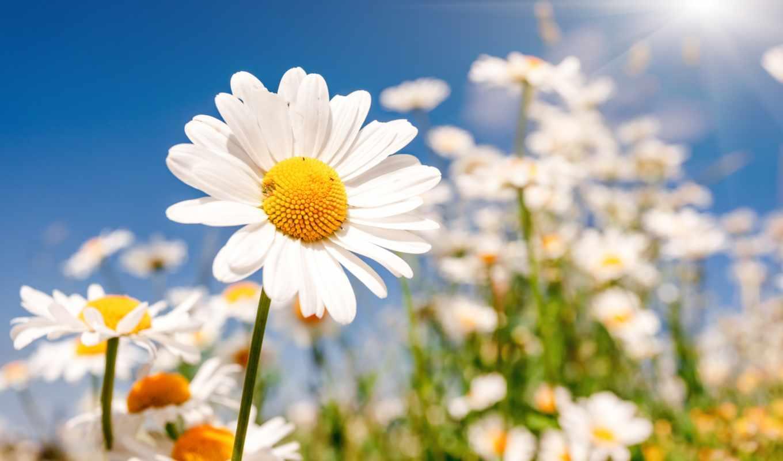 ромашки, цветы, полевые, разрешений, высоком,