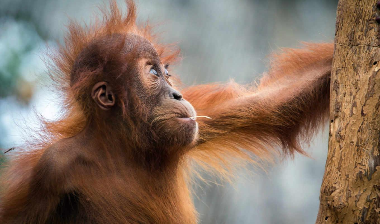 обезьяна, орангутанг, дерево