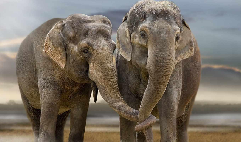 pair, слоны, номерам, слонов, zhivotnye, картинка,