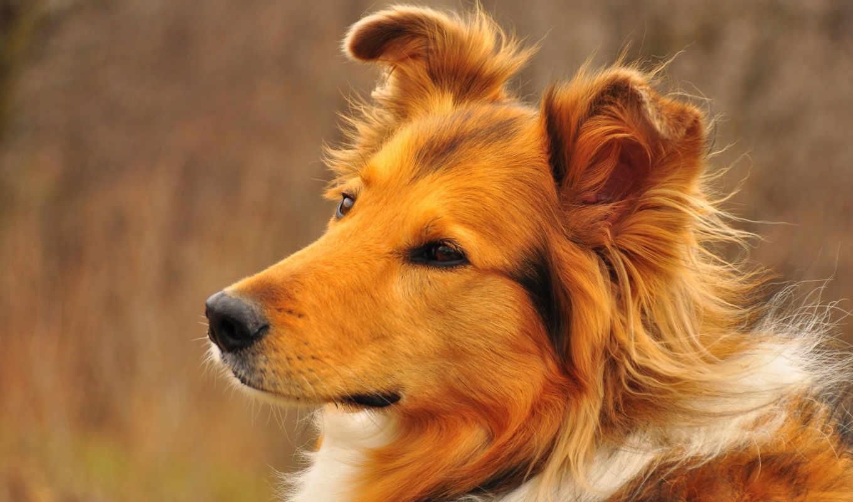 колли, породы, собак, собаки, другие, правда, предрасположены, ли, ожирению, зооклубе,