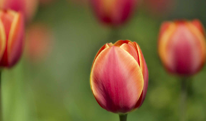 цветы, тюльпаны, лепестки, поляна, макро, канзаши, растения,
