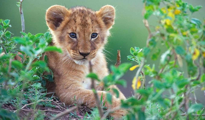 львенок, animal, lion, кот, сидит, зарослях, zhivotnye, траве,