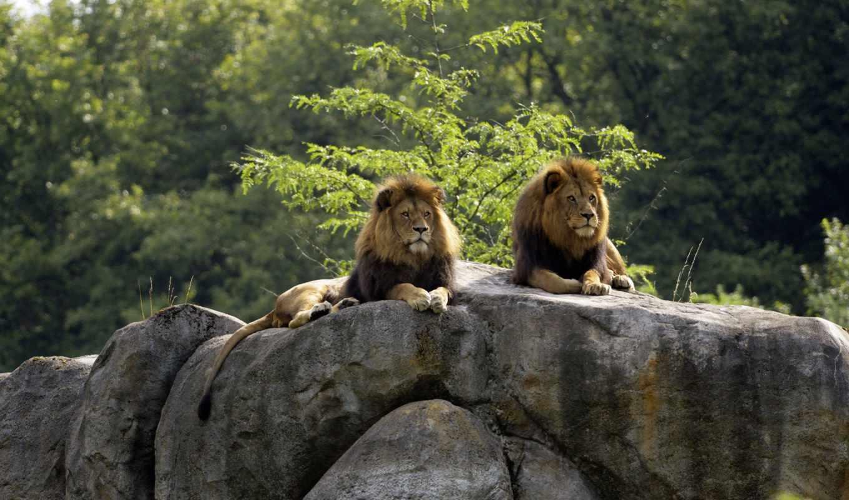 lions, animals, rocks, lion, rock,