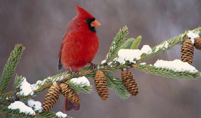 кардинал, птица, птицы, красного, red, друзья, маленькие, нас, природа, around,