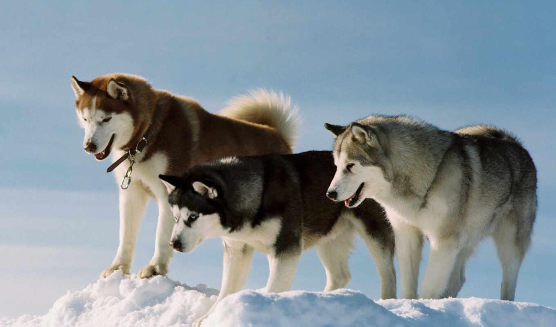 хаски, хаска, снег, порода, play, собака, malamute, разница, отличить, характер