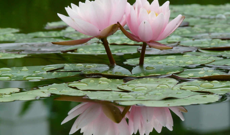 цветы, flowers, water, lily, loto, кувшинки, картинку, лилии, отражение, flor, leeza, их, изображение, nature,