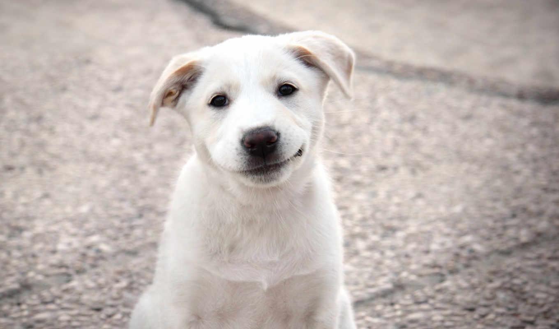 собаки, собака, улыбака, категории, pes,