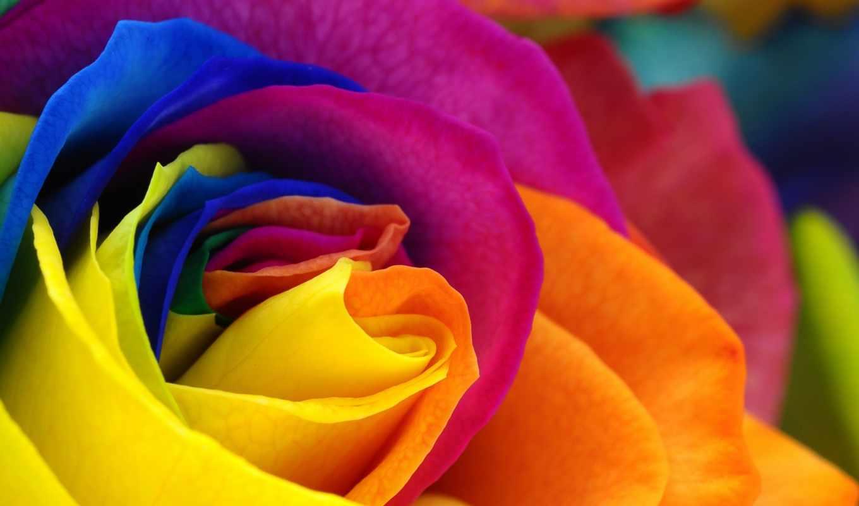 роза, samsung, arc, images, ecran, galaxy, fonds, fleur, fleurs,
