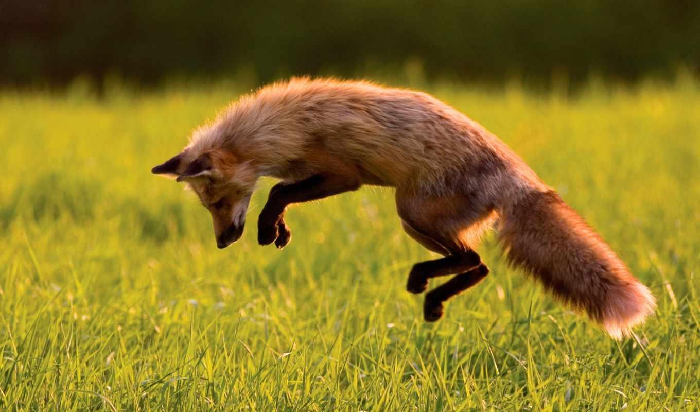 прыжок, лиса, охота, windows, лисы, смотрите, картинка, foxes, смартфона, планшета, животные,