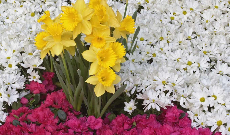 ромашки, цветы, нарциссы, клумба, ковёр, красивые,