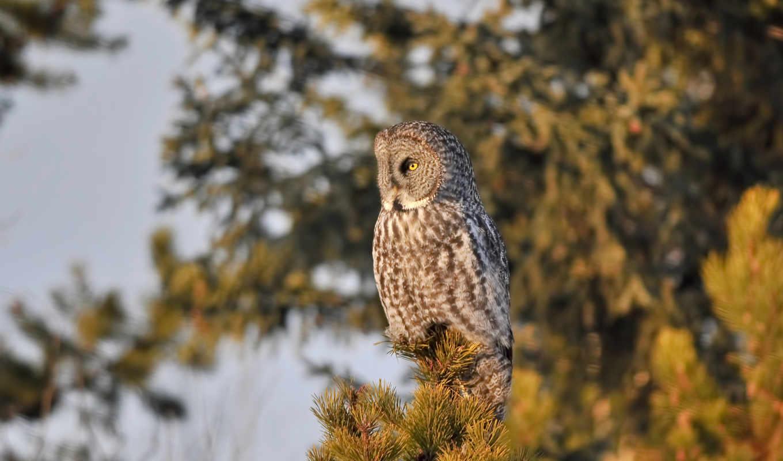 сова, птица, дерево, pine, птицы, совы, ветке, птички, сидит, хвоя,