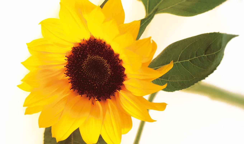 ,подсолнух, красивый, цветы