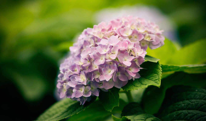 гортензия, листья, цветы, природа,