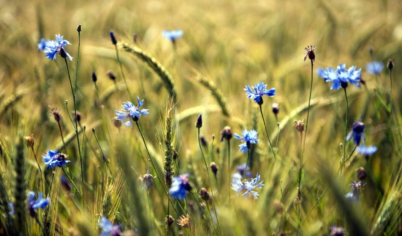 цветы, summer, поле, голубые, разных, разрешениях,