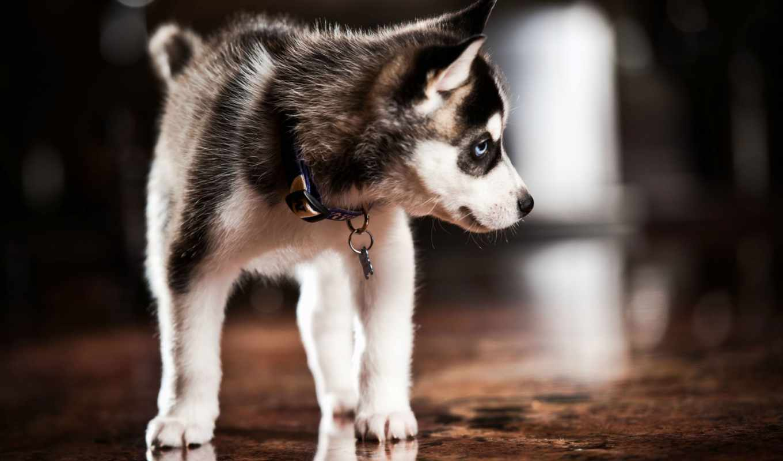 хаски, щенок, собака, ошейник, dogs,