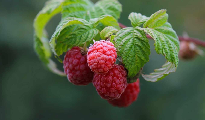 листва, малина, картинка, ягоды, природа, еда,