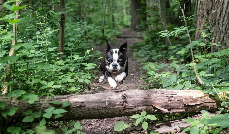 собака, бежать, прыжок, лес, хаска, морда, взгляд, собаку,