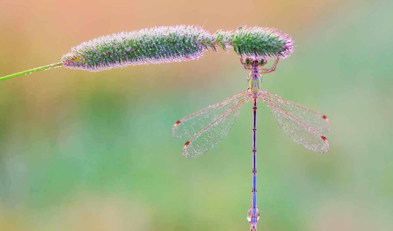 стрекоза, макро, трава, стрекозы, капли, роса, насекомые, утро, бабочки,