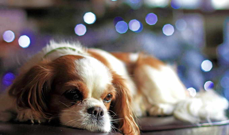 christmas, боке, огни, щенок, смотреть, собаки, нравится,