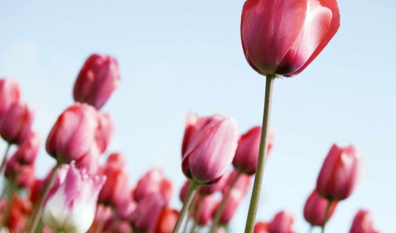 поле, тюльпанов, тюльпаны, цветов, цветы,