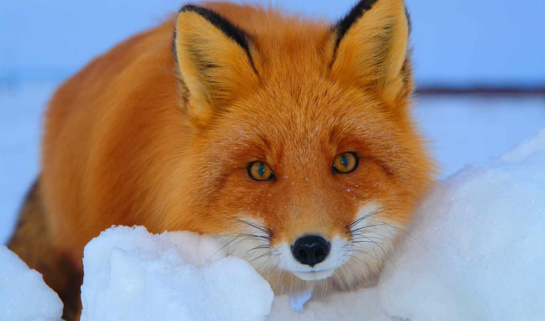 фокс, рыжая, лис, взгляд, морда, winter, снег,