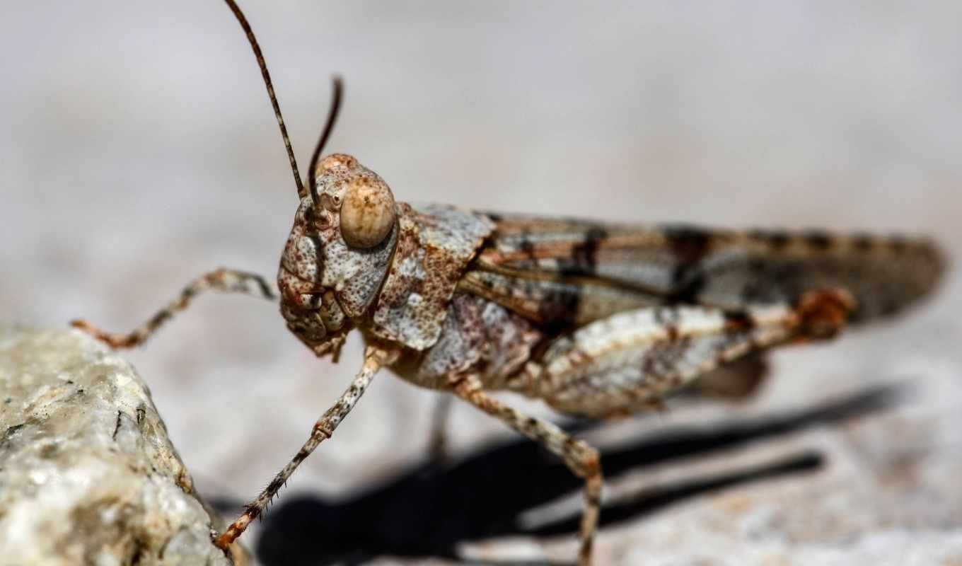 winged, band, grasshoppers,