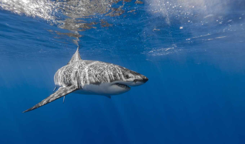 акула, animal, white, стена, water, great, underwater