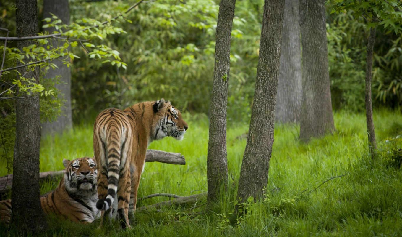 тигры, животные, полосатый, лес,