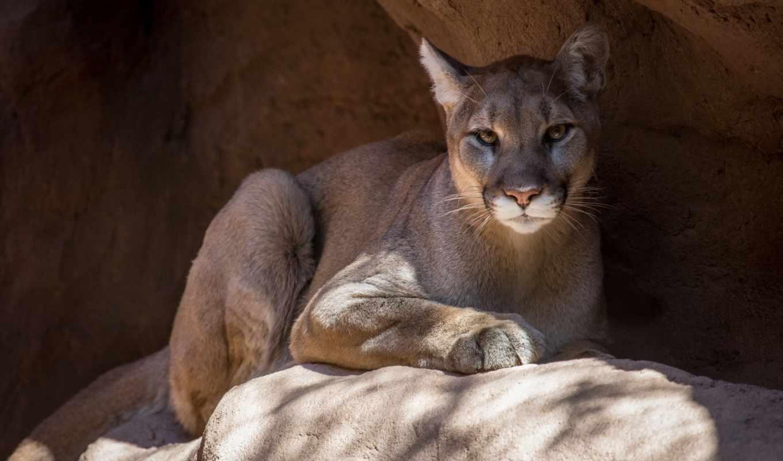 животные, животными, animal, cougar, animals, животных, кот,