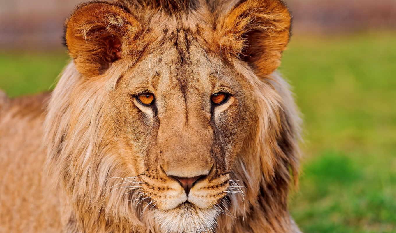 морда, lion, взгляд, хищник, грива, лео, panthera, усы,