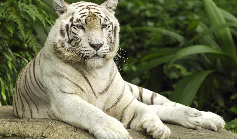 тигр, кб, white, zoo, singapore,