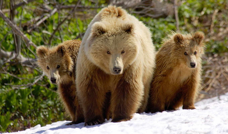 медведь, сниматься, медведи, природе, медведей, дикой, grizzly, камчатке, бурых, шпиленок,