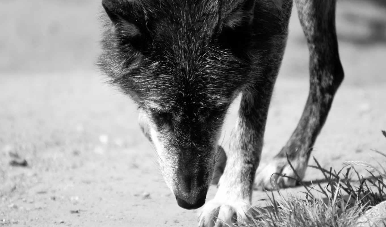 собака, animals, id, images, волк, admin, article, grey,