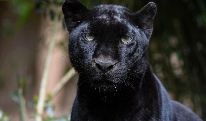 пантера, leopardo, negro, fondos, selvagem, pantalla, хищник, gato,