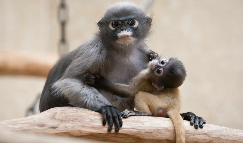 обезьяна, очковый, тонкотел, семейства, zhivotnye,
