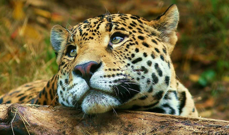 животных, африки, кошки, zhivotnye, львы, всю, территорию, дикие, средние, века, еще,