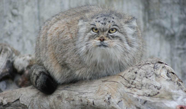 кота, коты, диких, манул, котов, кошек, манула, кот,