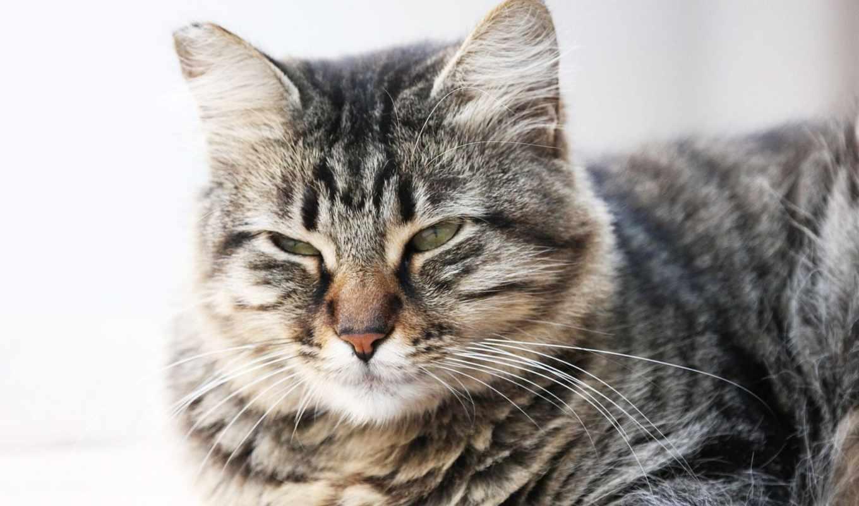 кот, лежит, мордочка, серый, cat, картинку,