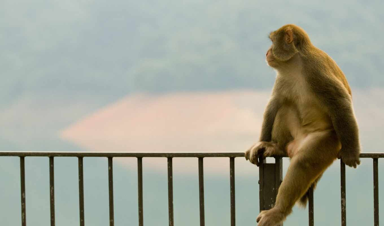 обезьяна, сидит, обезьяны,