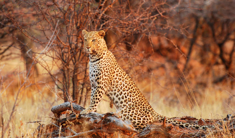леопард, zhivotnye, дикая, priroda, просмотреть,