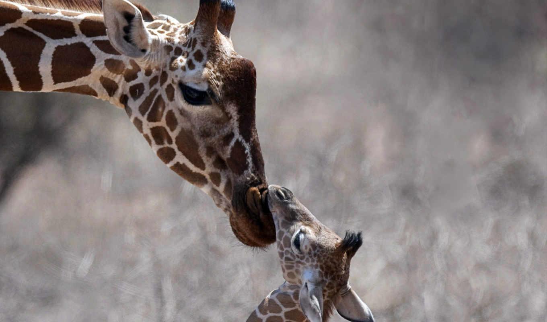 жираф, голова, animals, животных, детёныш, забота,