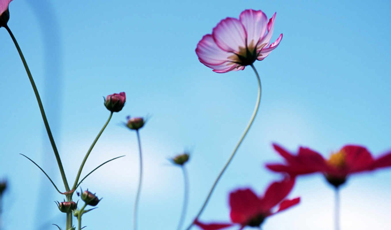 красивые, цветы, очень,
