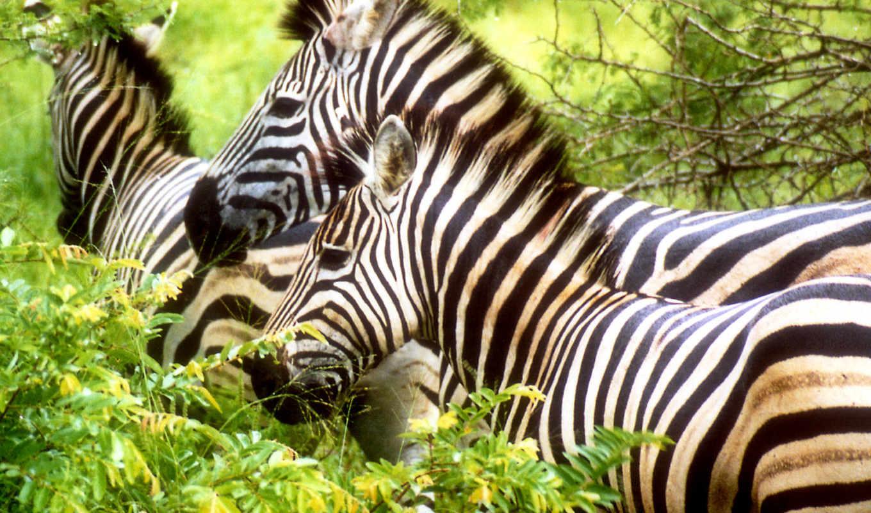 zebra, jungle, zebras, more, animals, covers, facebook, white,