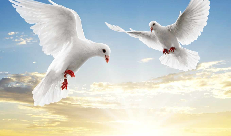 голубь, white, голуби, но, голубей,