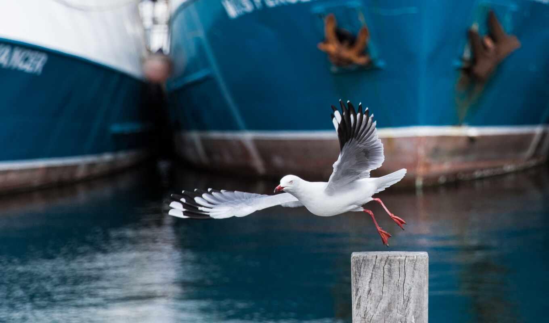 чайка, птица, fremantle, чая, море, seagull, сорт, wide, природа, взгляд